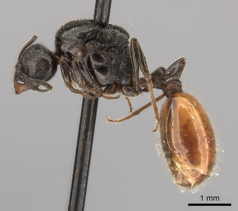 Image of Monomorium kiliani