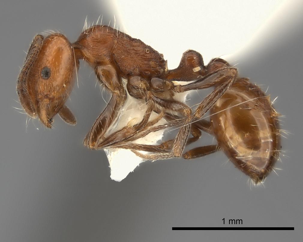 Image of Monomorium longiceps