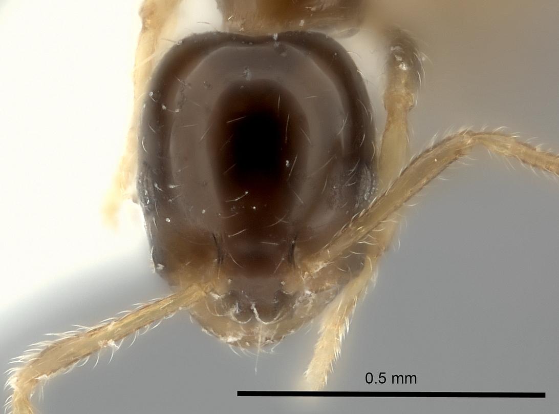 Image of Monomorium noxitum