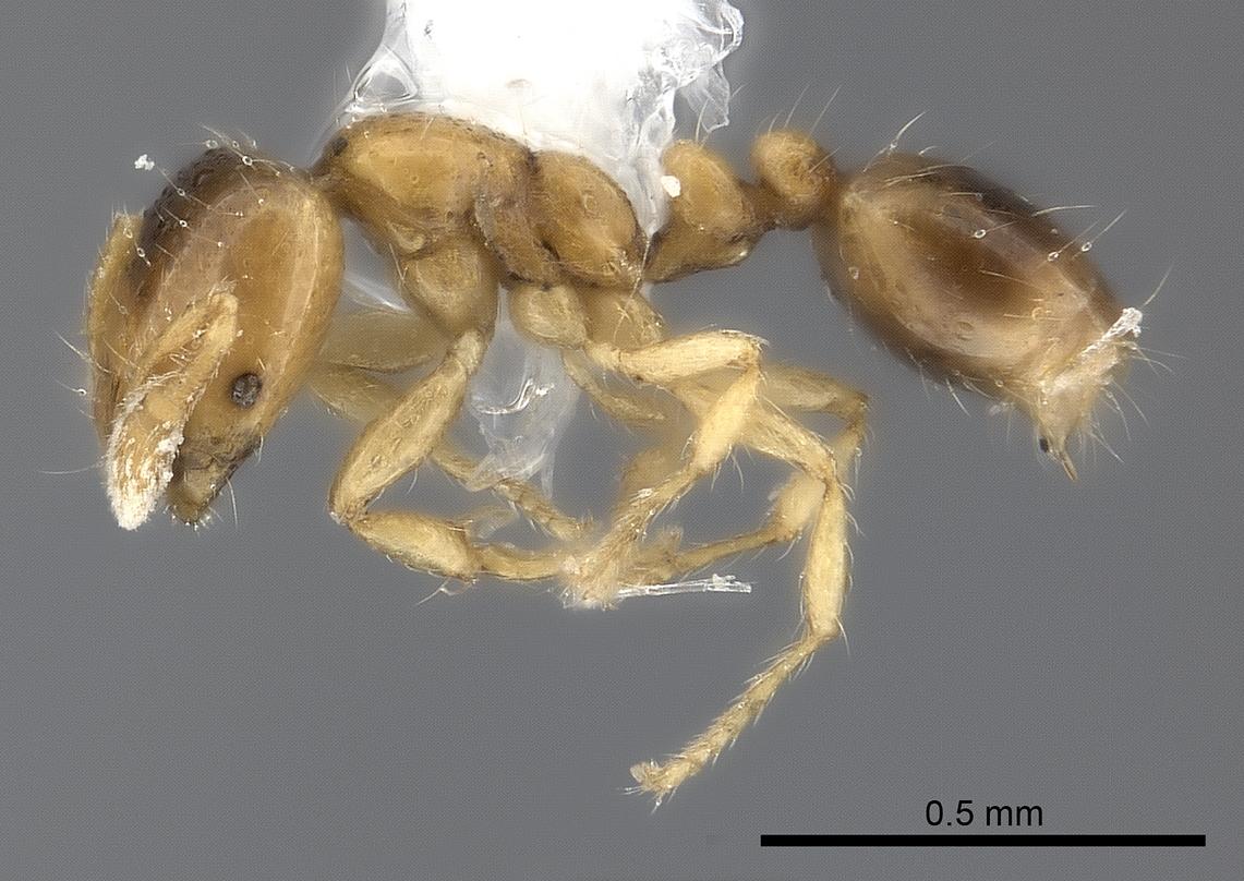 Image of Solenopsis azteca