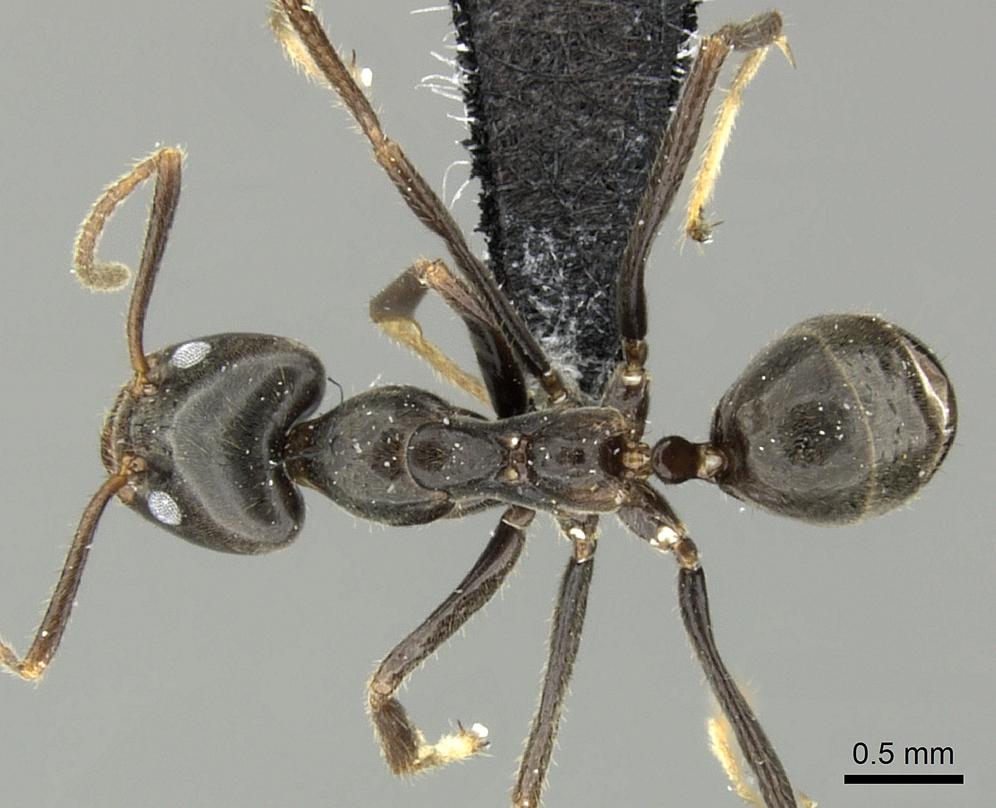 Image of Anonychomyrma dimorpha