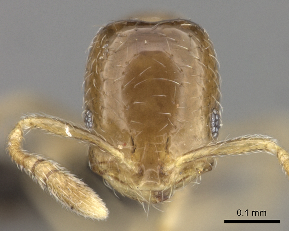 Image of Monomorium fastidium