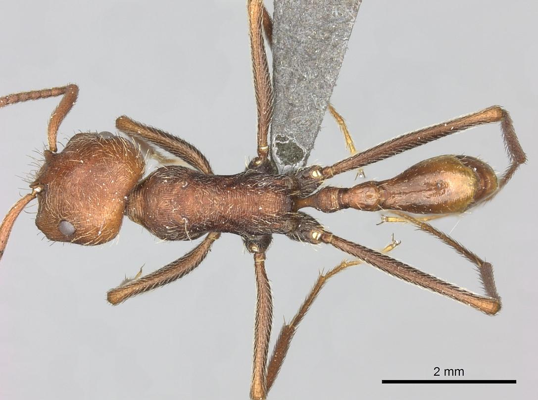 Image of Ocymyrmex sobek