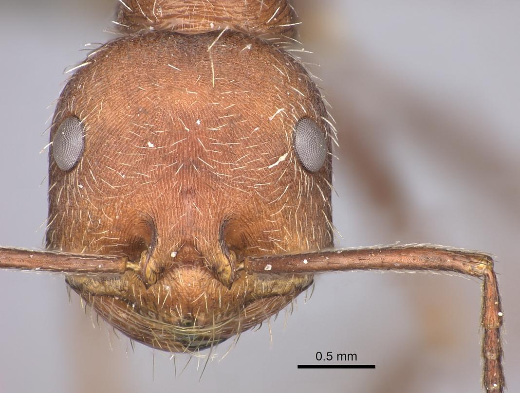 Image of Ocymyrmex foreli