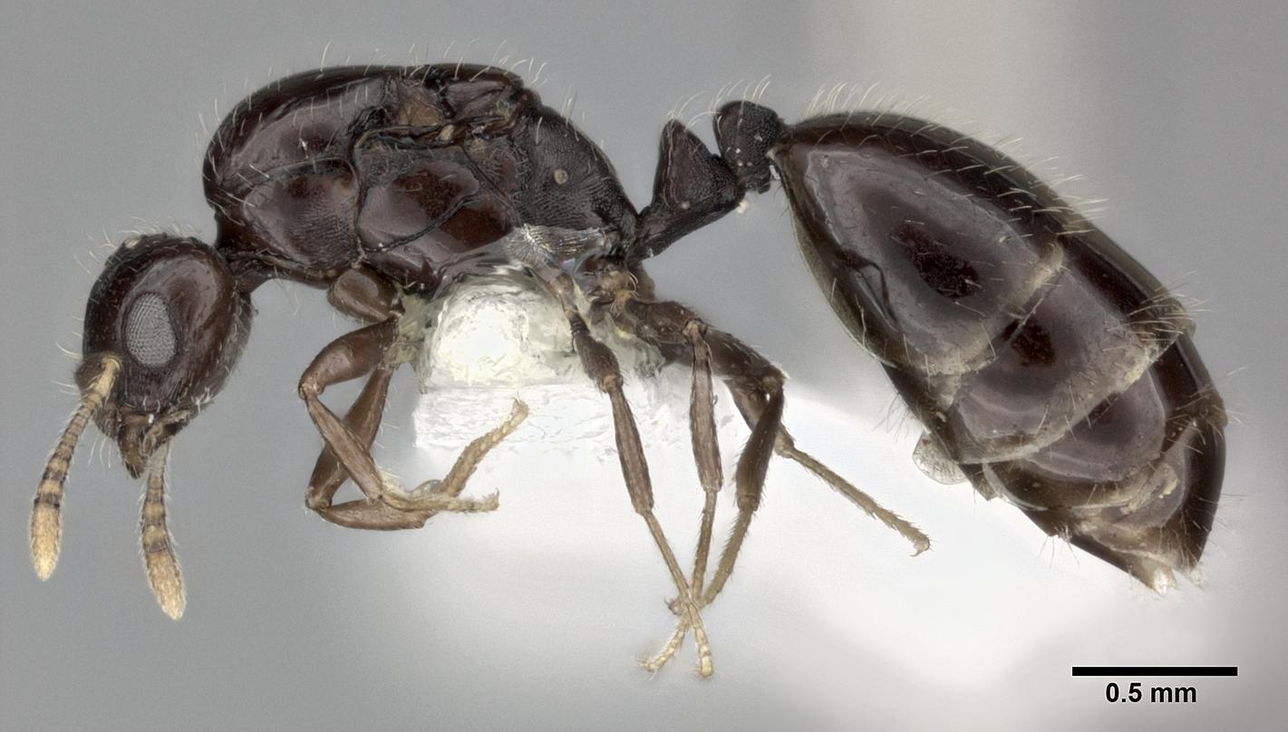 Image of Monomorium malatu