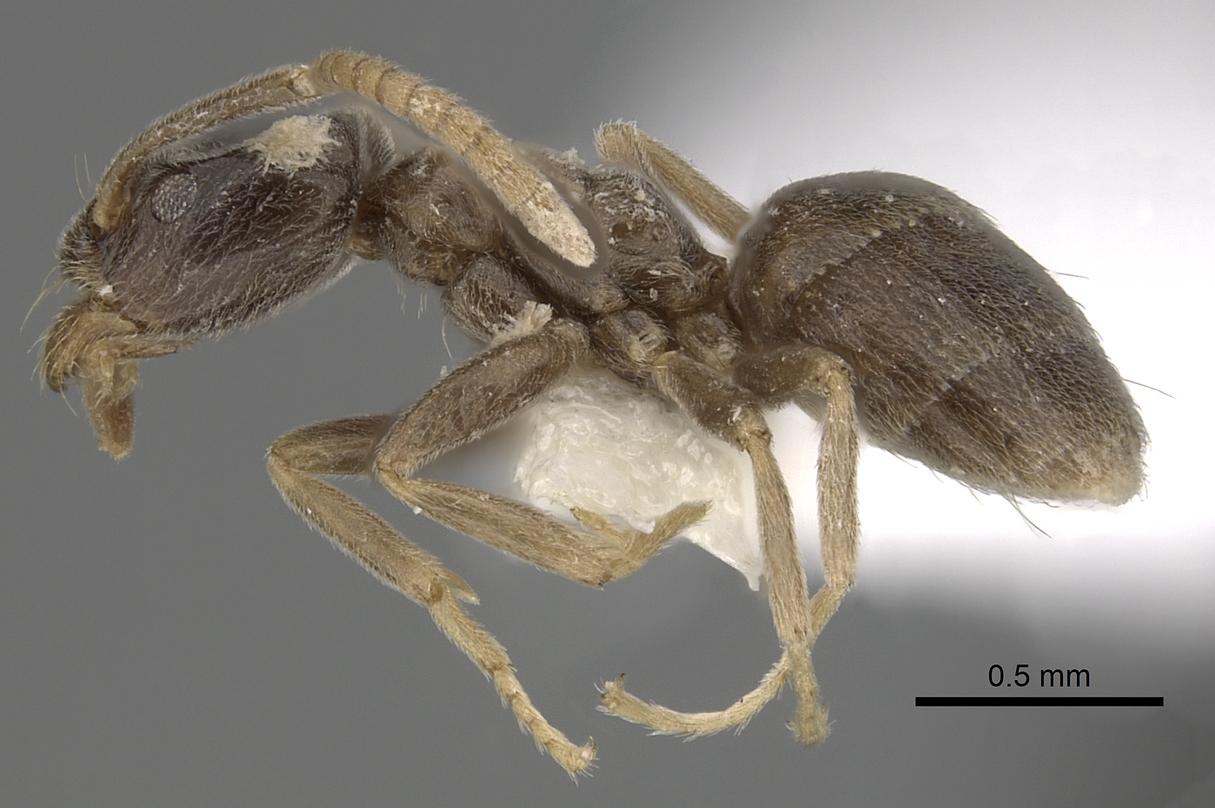 Image of Bothriomyrmex corsicus