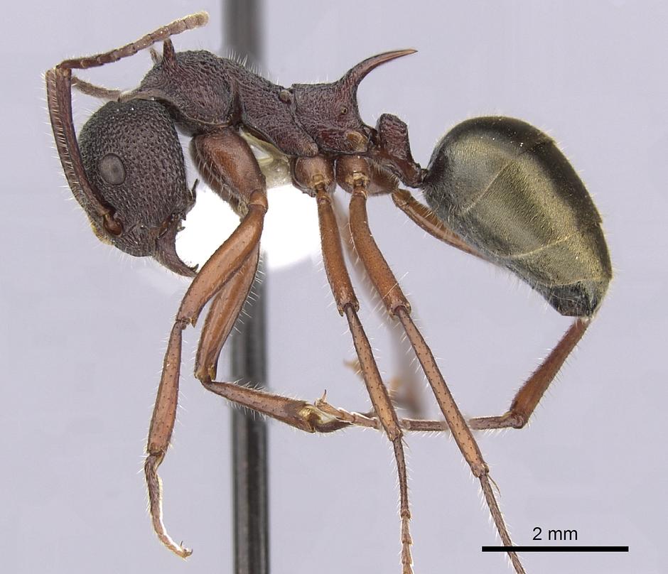 Image of Dolichoderus extensispinus