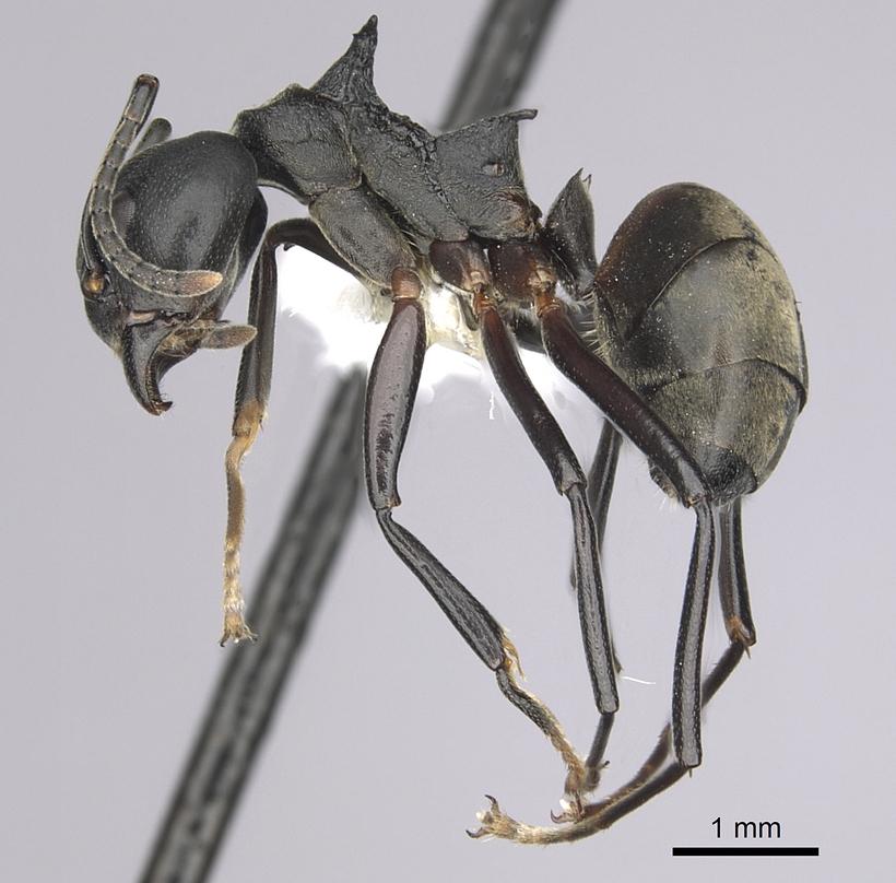 Image of Dolichoderus cuspidatus