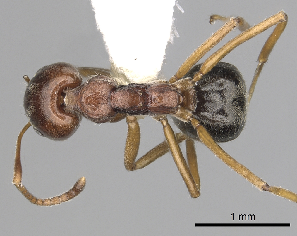 Image of Dolichoderus taprobanae