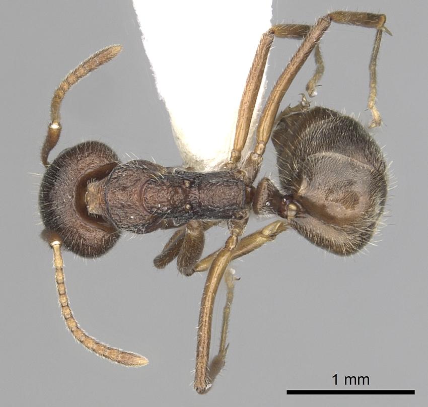 Image of Dolichoderus affinis
