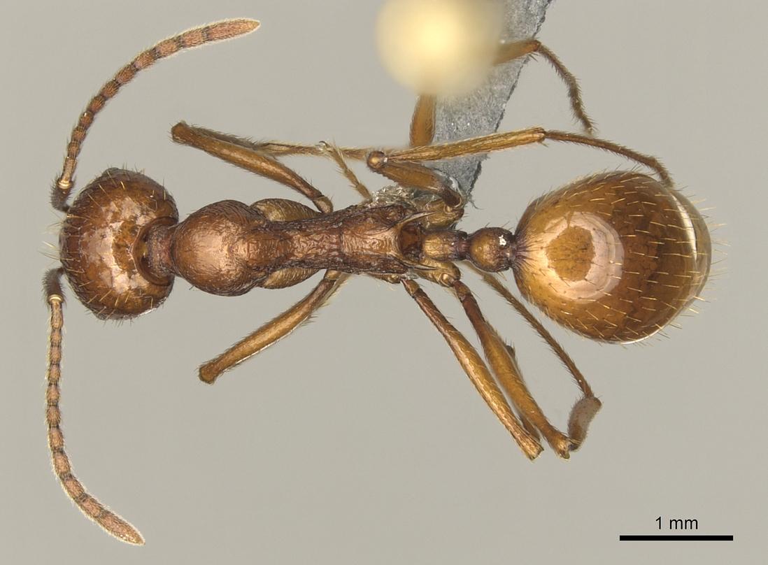 Image of Aphaenogaster cardenai