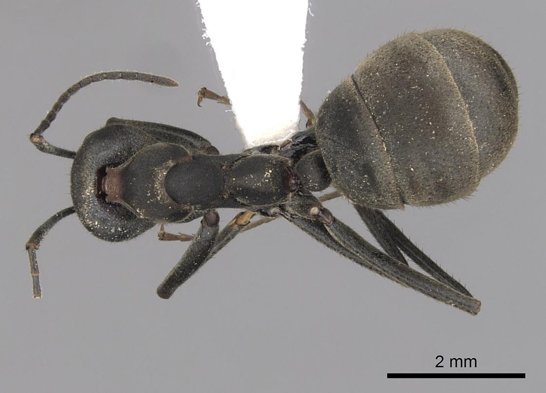 Image of Dolichoderus lugens
