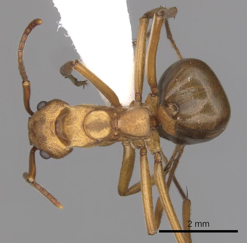 Image of Dolichoderus doloniger