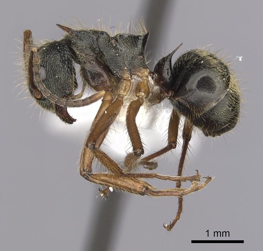 Image of Dolichoderus superaculus