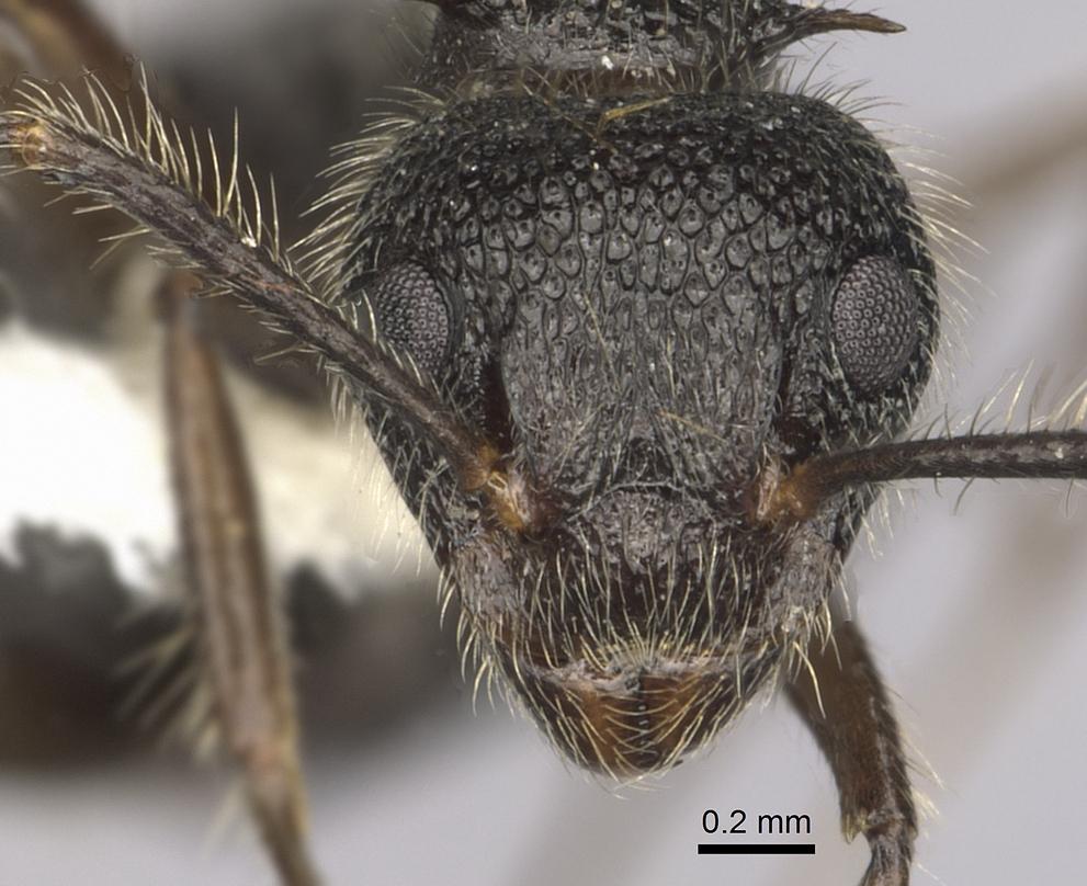 Image of Dolichoderus andinus