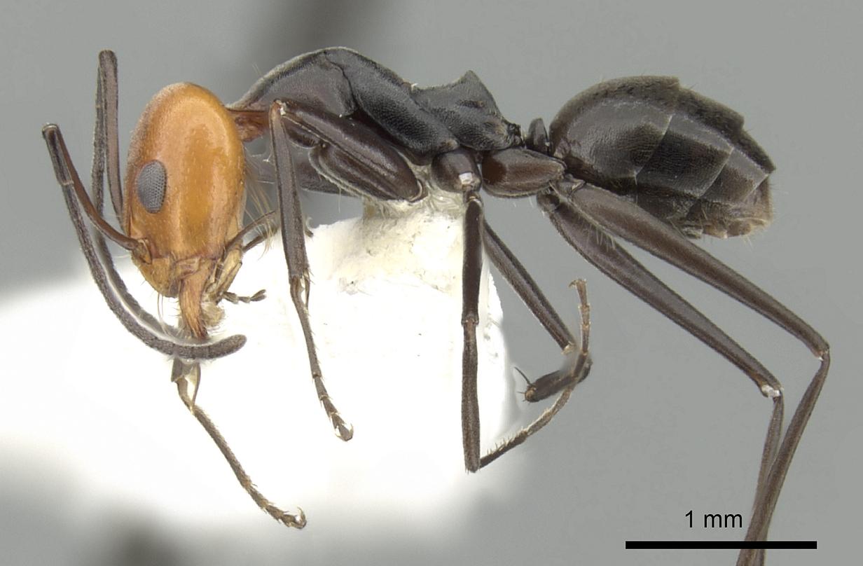 Image of Dorymyrmex goetschi
