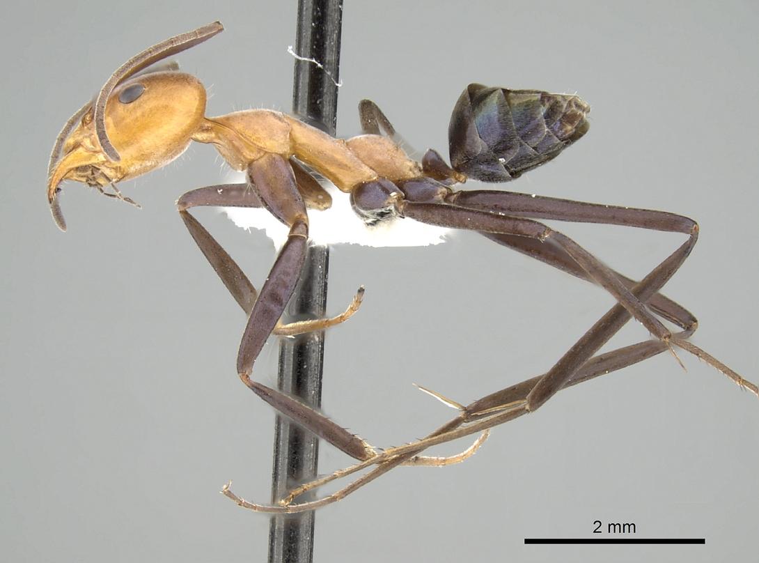 Image of Iridomyrmex agilis