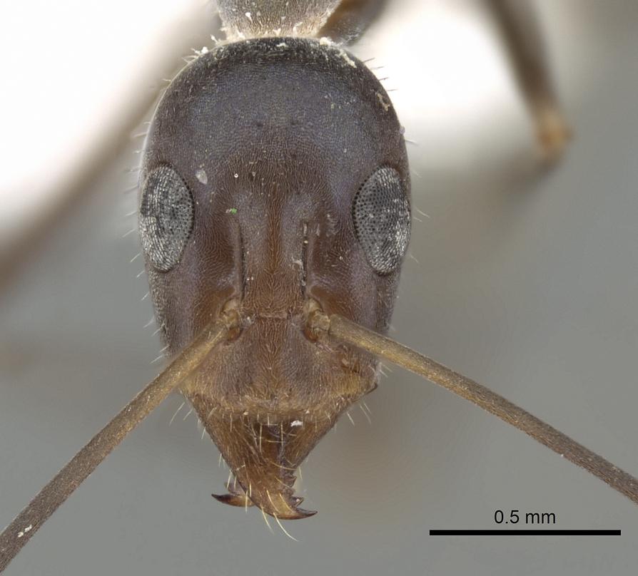 Image of Iridomyrmex angusticeps