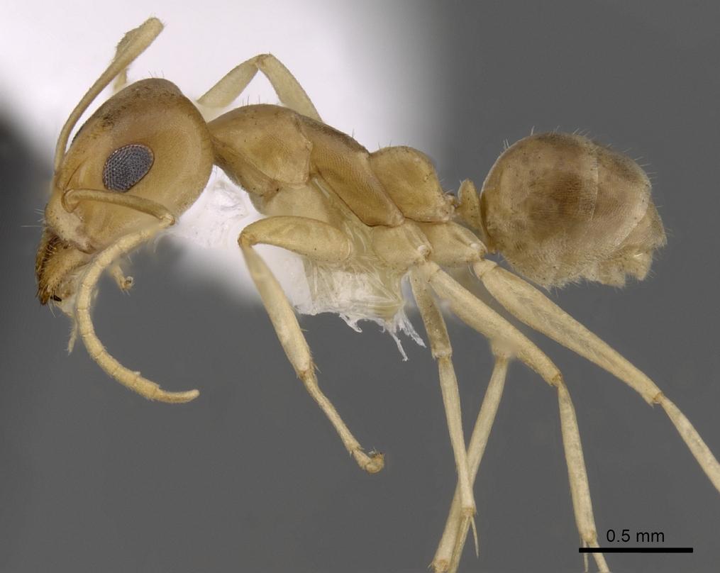 Image of Iridomyrmex dromus