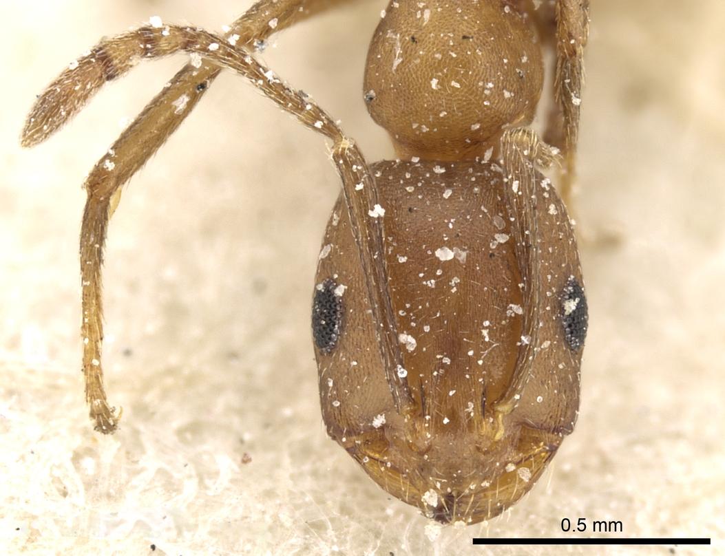 Image of Monomorium phoenicum