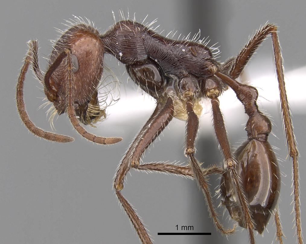 Image of Ocymyrmex robustior
