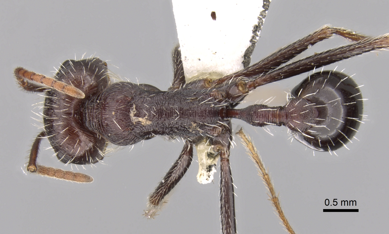 Image of Ocymyrmex cilliei