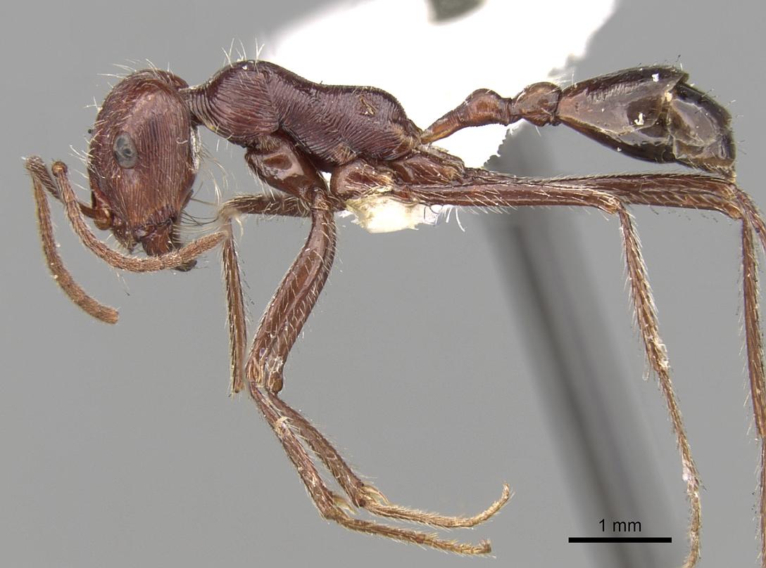 Image of Ocymyrmex nitidulus