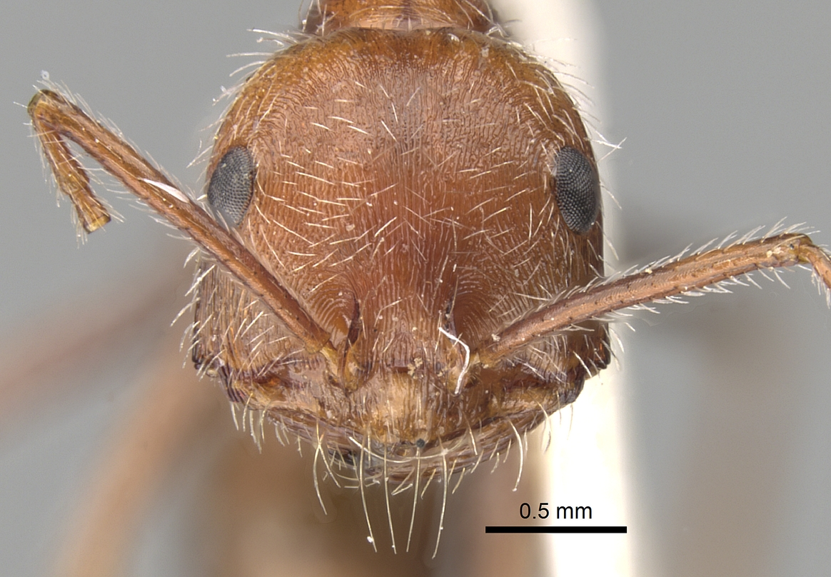 Image of Ocymyrmex micans