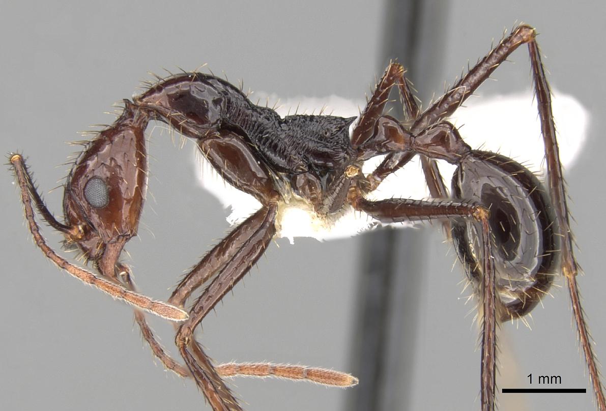 Image of Aphaenogaster beccarii