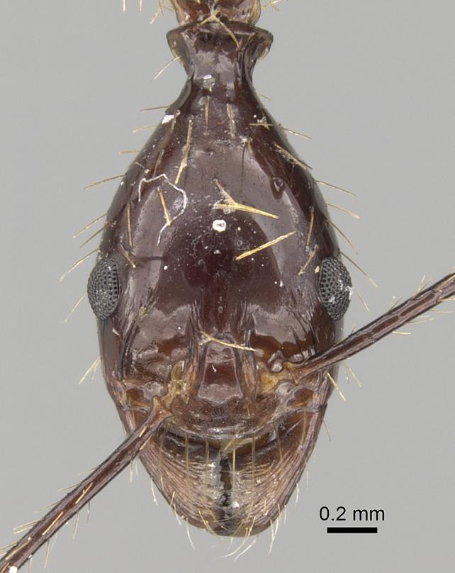 Image of Aphaenogaster feae