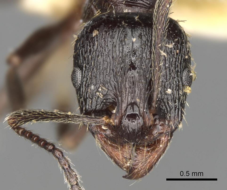 Image of Aphaenogaster obsidiana