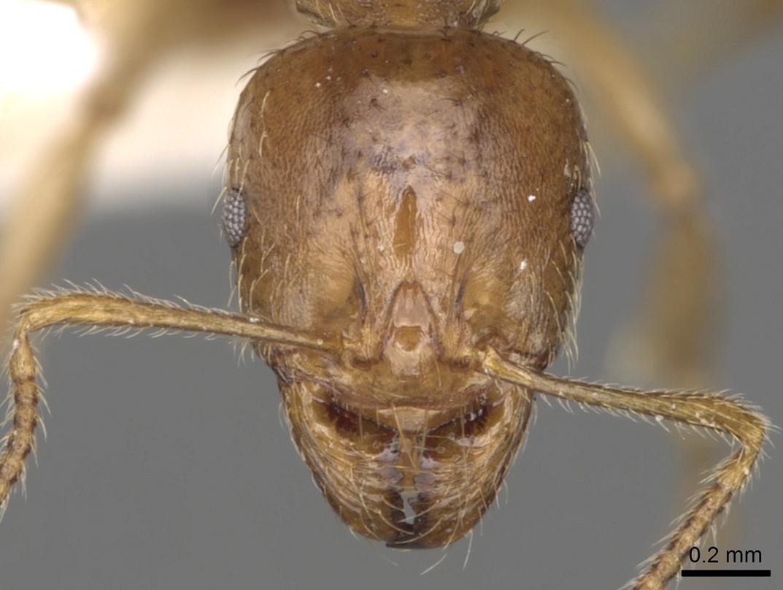 Aphaenogaster pallida image