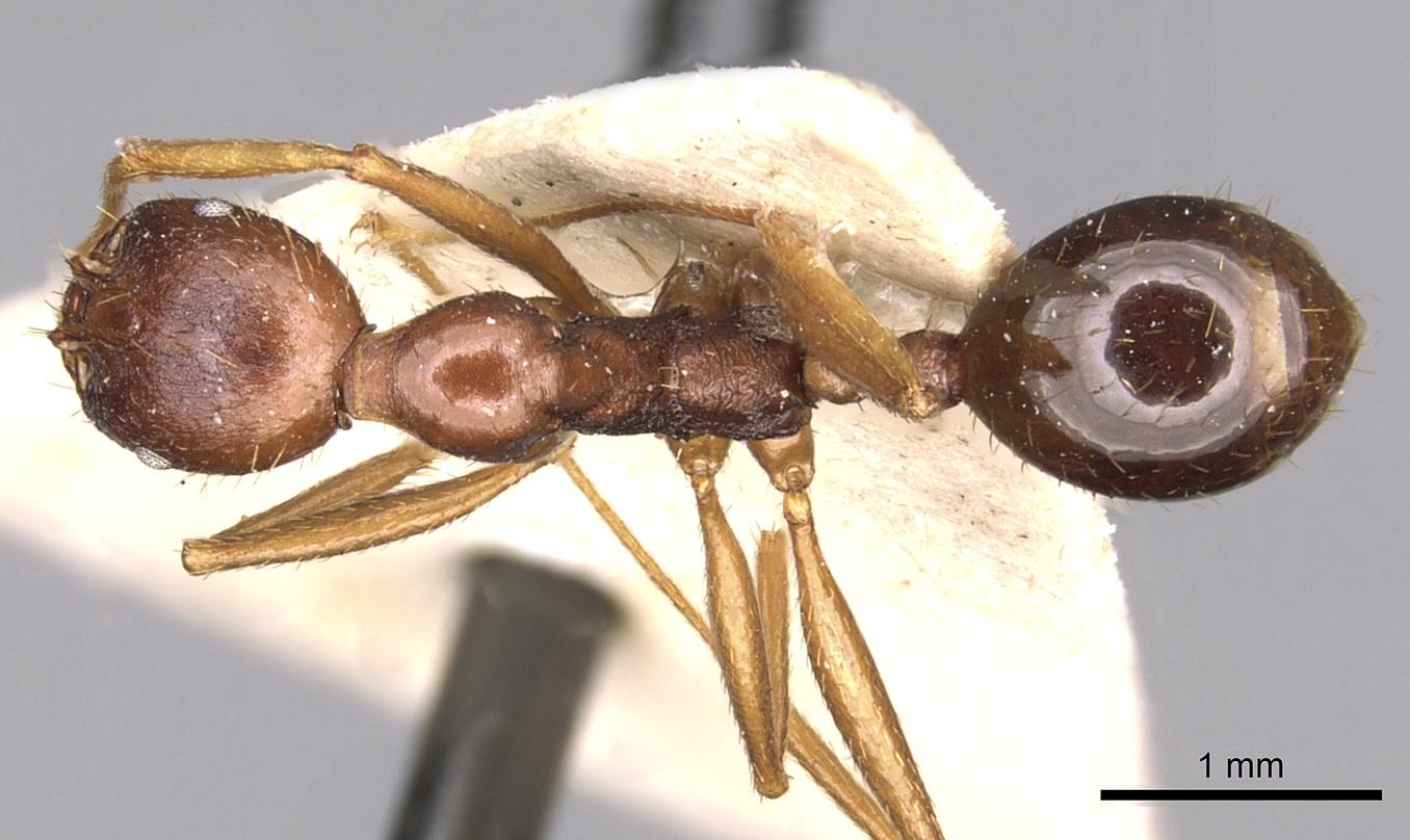Image of Aphaenogaster ovaticeps