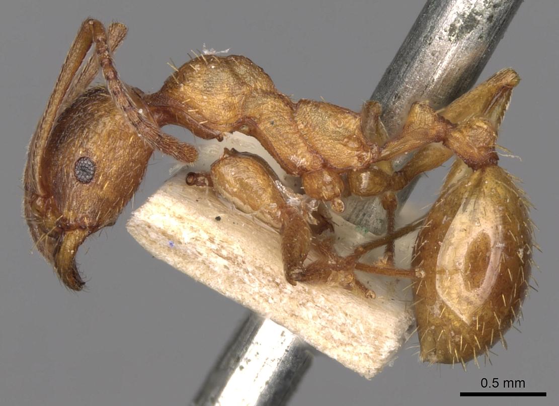 Image of Aphaenogaster crocea