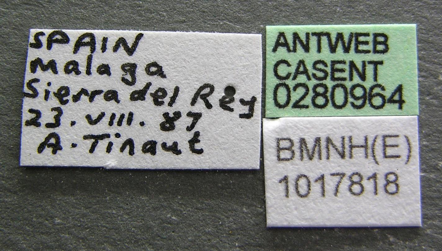Aphaenogaster striativentris image