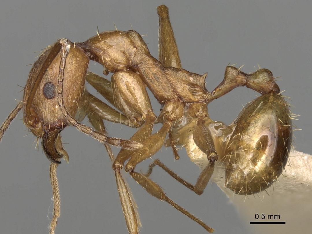 Aphaenogaster splendida image