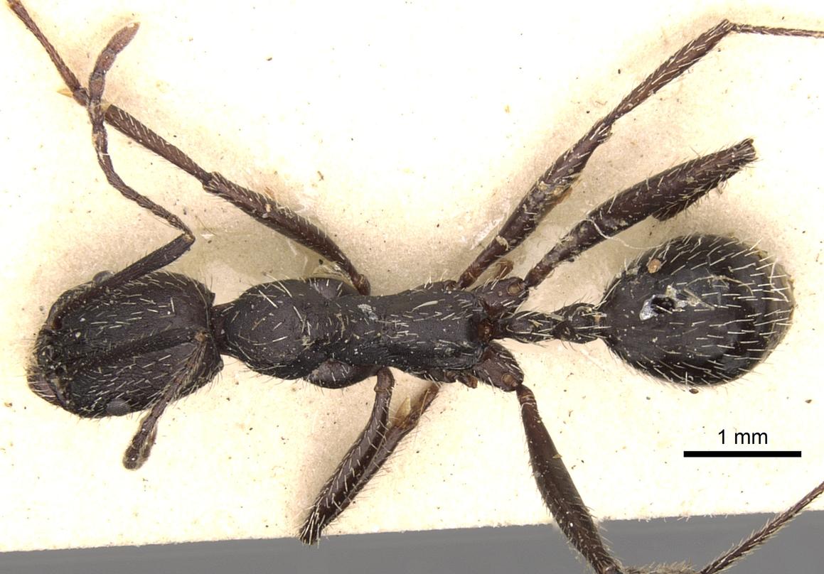 Image of Aphaenogaster gemella