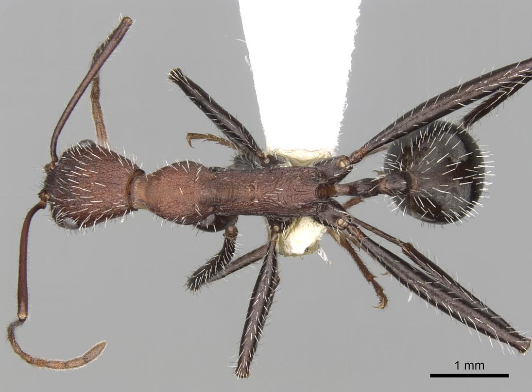 Image of Aphaenogaster praedo