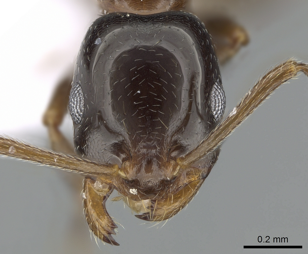 Image of Monomorium creticum