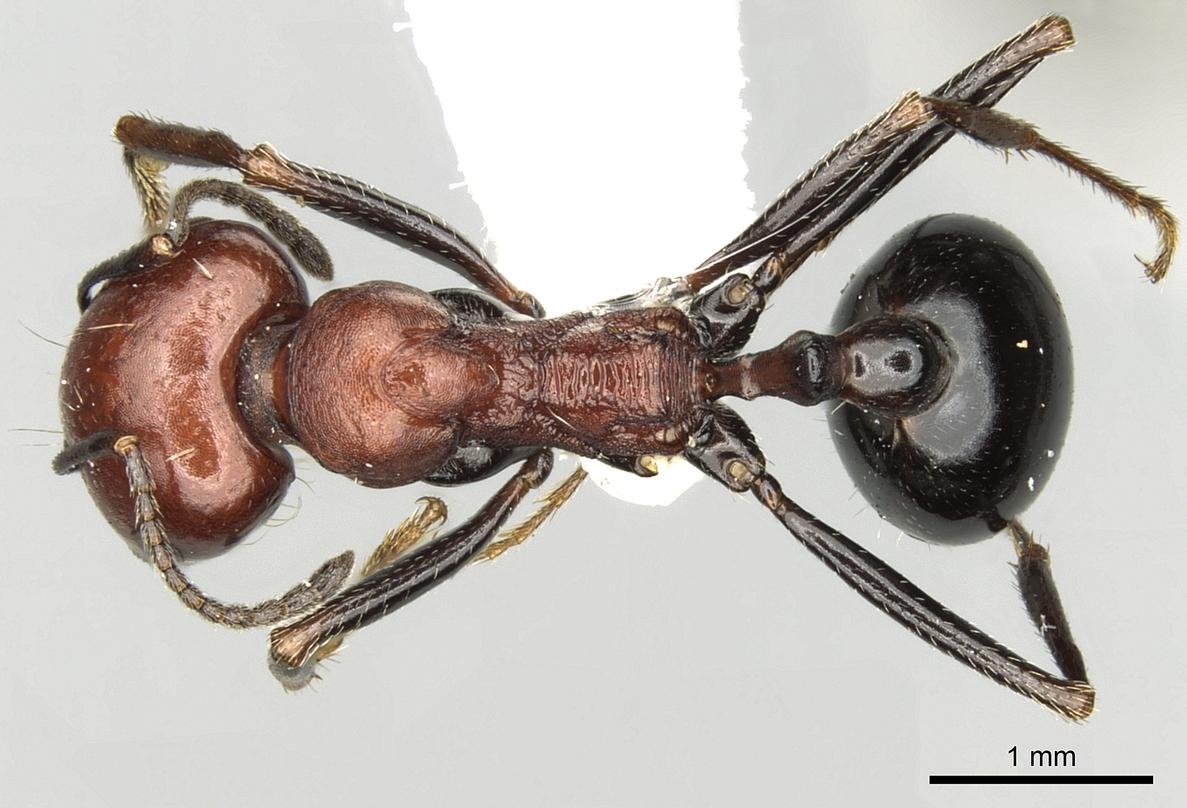 Image of Messor aegyptiacus