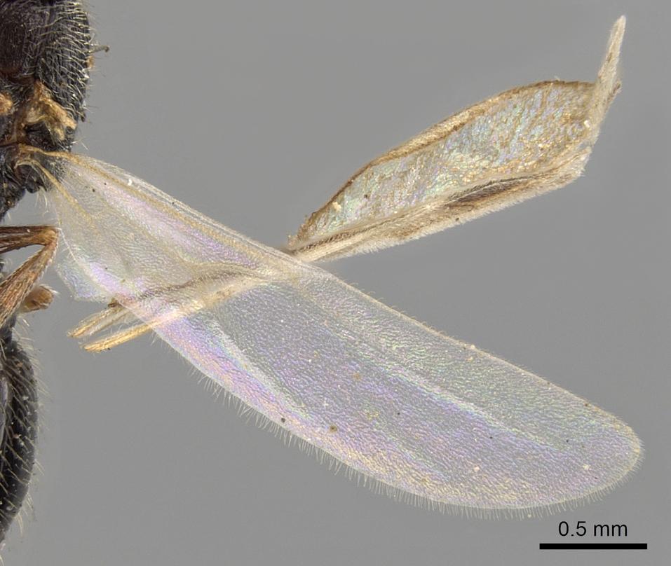 Image of Oxyopomyrmex saulcyi