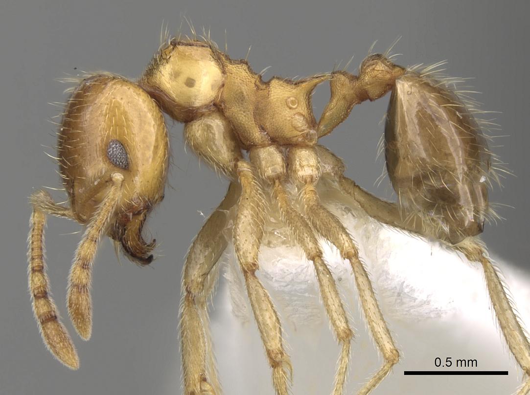Image of Lophomyrmex quadrispinosus