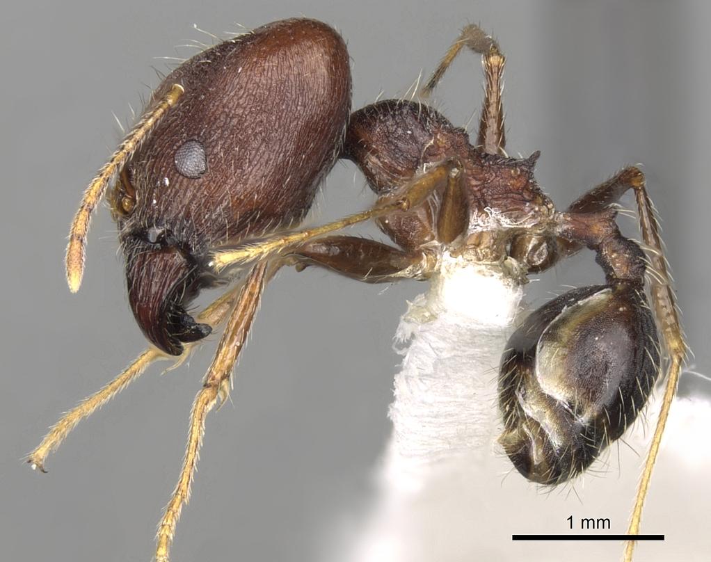Image of Pheidole rugaticeps