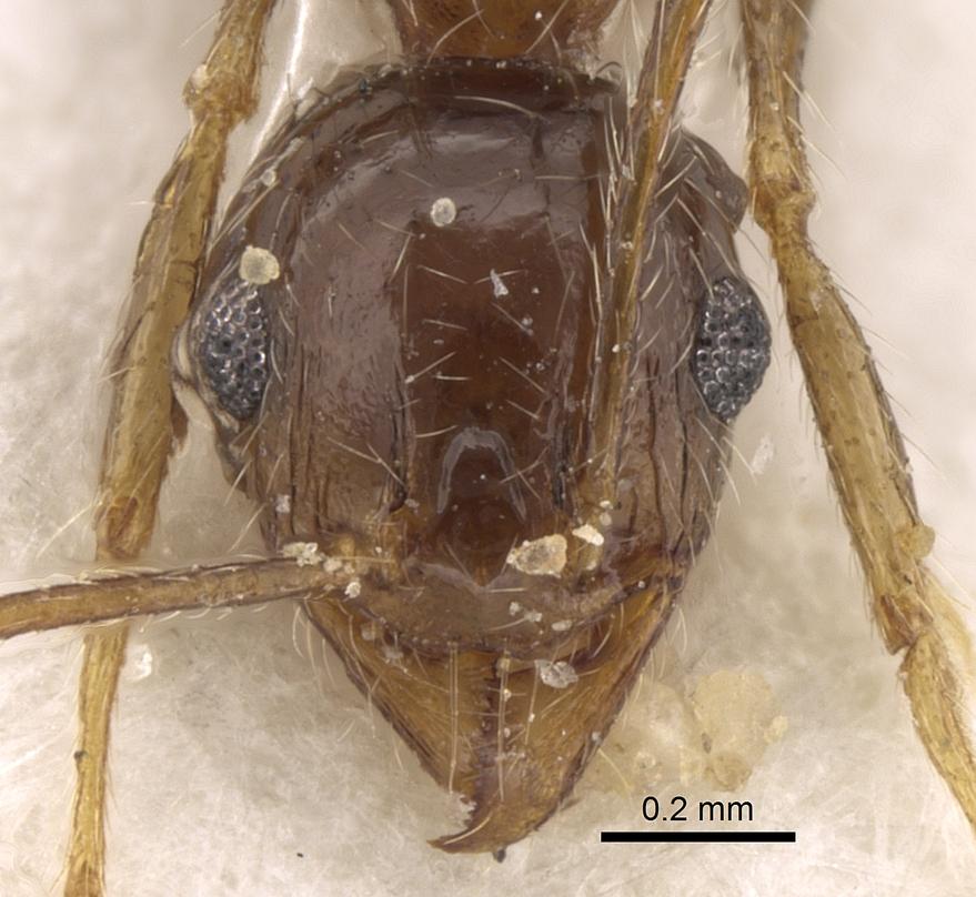 Image of Pheidole jordanica