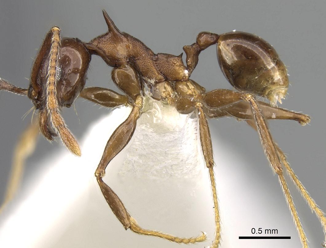 Image of Pheidole quadricuspis