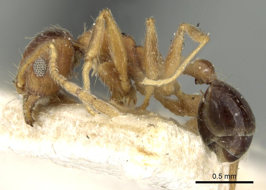 Image of Pheidole naoroji