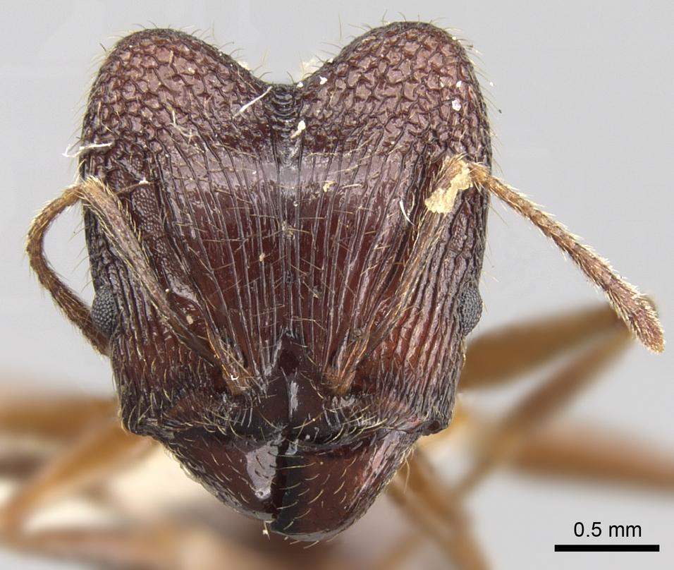 Image of Pheidole malinsii