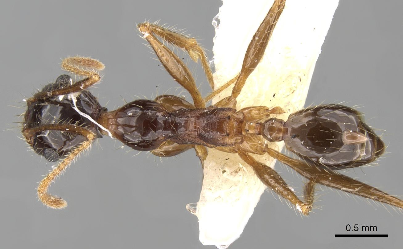 Image of Pheidole latinoda