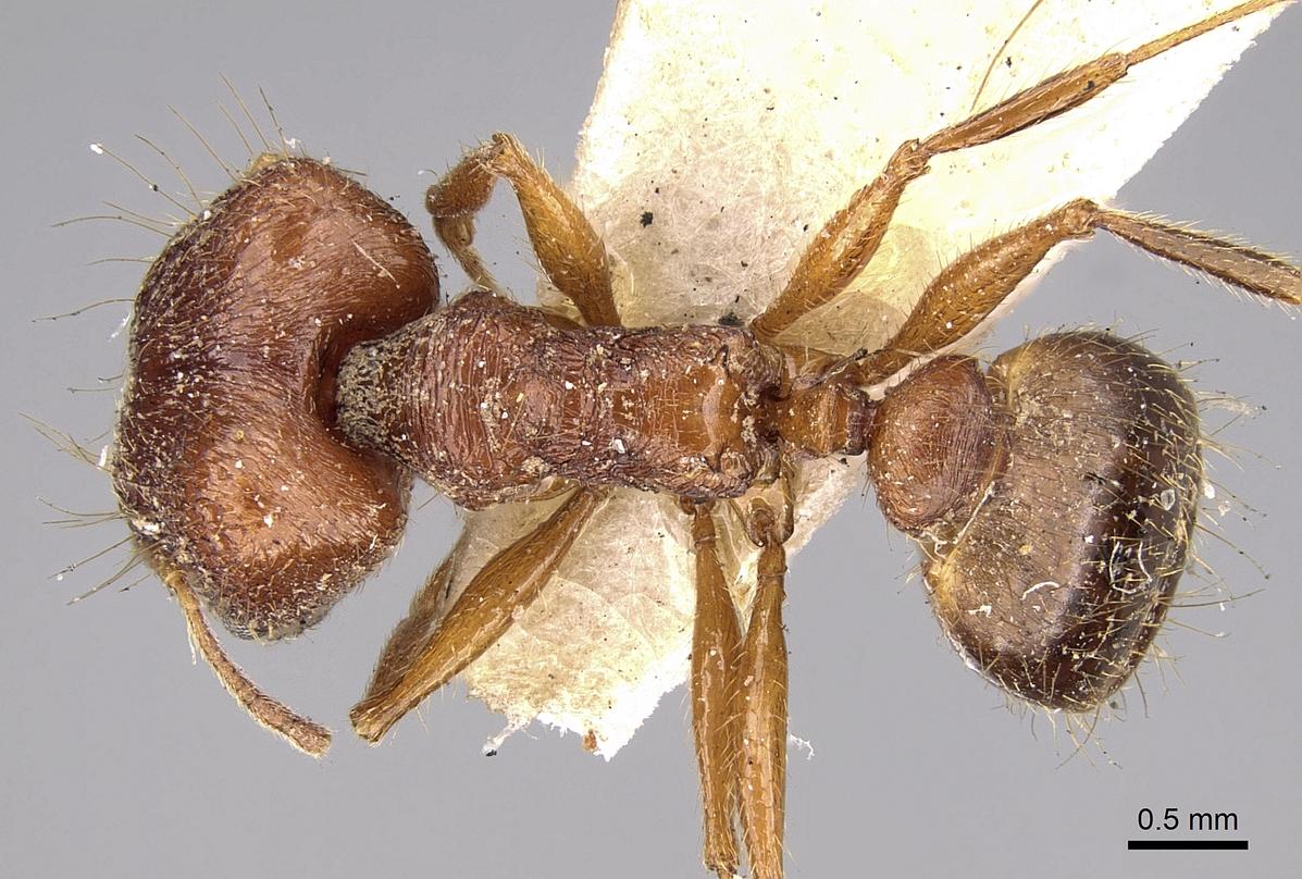 Image of Pheidole horni