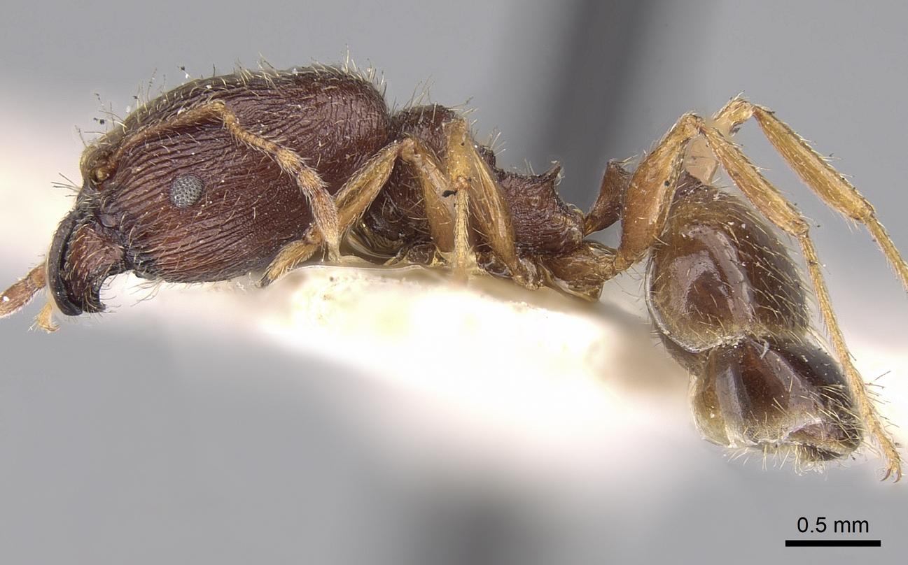Image of Pheidole sulcaticeps